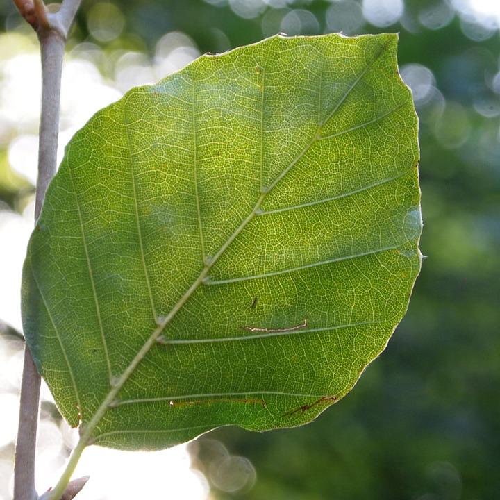 feuilles-hêtre